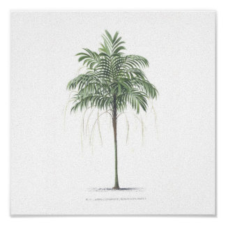 Palm tree illustration Collection Posters