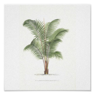 Palm tree illustration Collection Poster