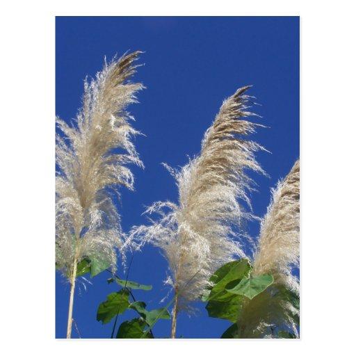 Pampas Grass In Bloom Postcards