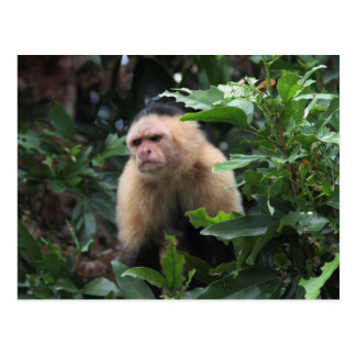 Panama, Capuchin Monkey in the Jungle Postcard