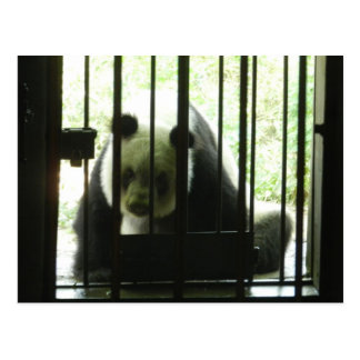 Panda Bear Behind Bars Postcard