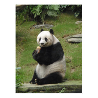 Panda Bear eating some bamboo Postcard