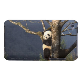Panda bear in tree , China iPod Touch Cases