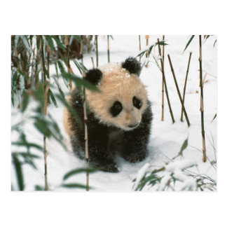 Panda cub on snow Wolong Sichuan China 2 Postcard