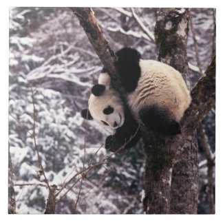 Panda cub playing on tree covered with snow, large square tile