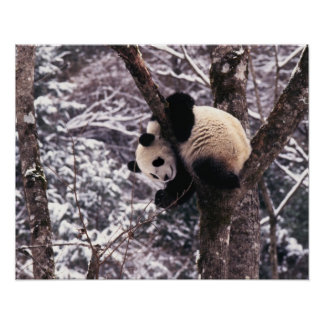 Panda cub playing on tree covered with snow, poster