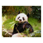 Panda Eating Bamboo Posters