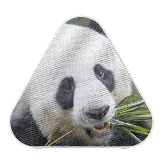 Panda eating bamboo shoots Alluropoda 2