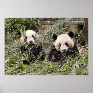 Pandas Eating Bamboo! Poster