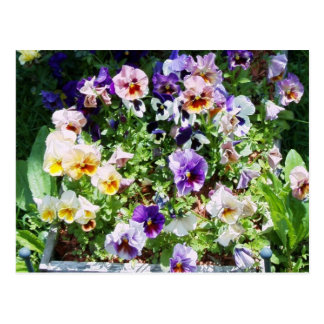 Pansy Bed Postcard