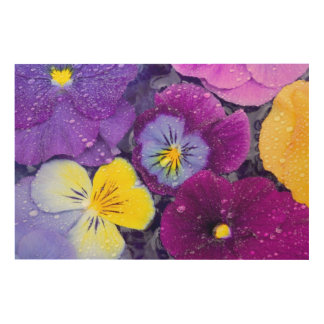 Pansy flowers floating in bird bath with dew 2 wood print