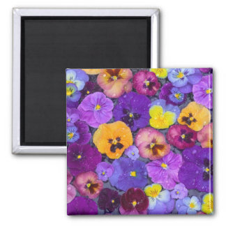 Pansy flowers floating in bird bath with dew square magnet