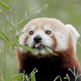 Cool Panda Gifts On Zazzle Au