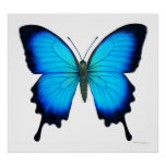 Papilio Ulysses Butterfly Poster