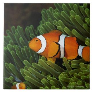 Papua New Guinea, false clown anemonefish and Ceramic Tile
