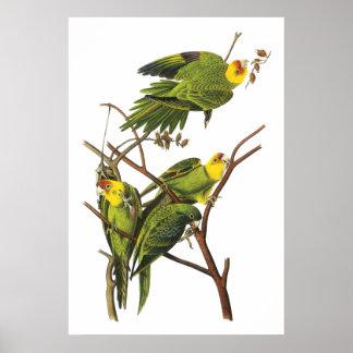 Parakeet by John Audubon - Poster Print