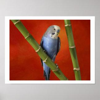 parakeet poster