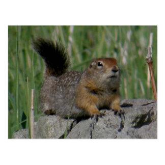 Parkee Squirrel Facing Right, Unalaska Island Postcard