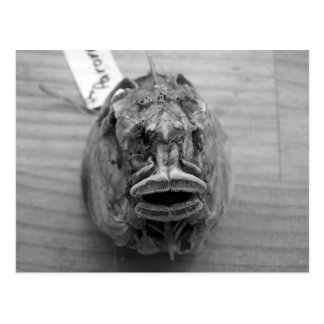 Parore Fish Skull Postcard