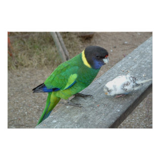 parrot budgie print no border