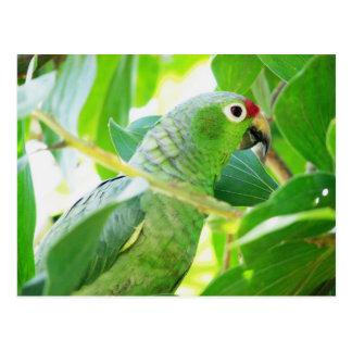 Parrot, Rio Chagres, Panama Postcard