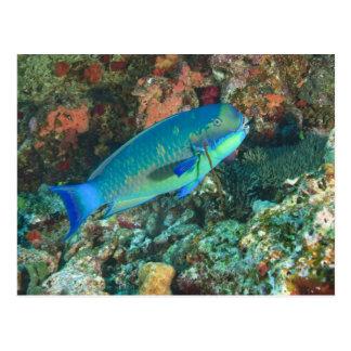 Parrotfish near Taveuni Island, Fiji, South Postcard