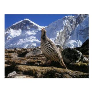 Partridge in Himalayas Postcard