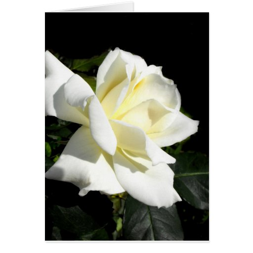 Pascali white hybrid tea rose greeting card