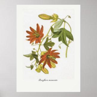 Passiflora manicata poster