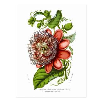 Passiflora quadrangularis decaisneana postcard