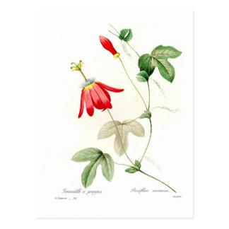 Passiflora racemosa postcard