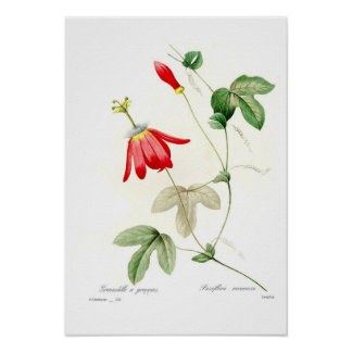 Passiflora racemosa poster