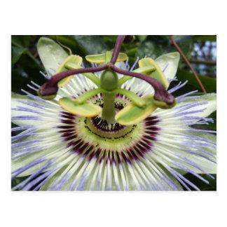 Passion Flower iii Postcard