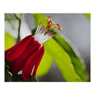 Passion Vine Flower Poster