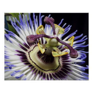 Passionflower close-up (MR) Print