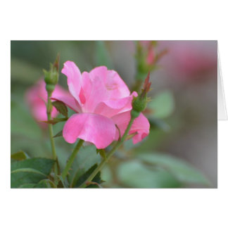 Pastel Pink Rose in Iraq Greeting Card