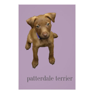 Patterdale Terrier Puppy Poster