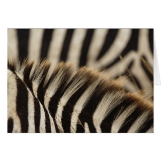 Pattern of Burchell's Zebra stripes, Equus Card