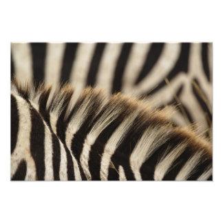 Pattern of Burchell's Zebra stripes, Equus Photographic Print