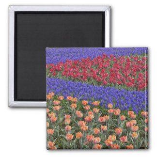 Pattern of tulips and Grape Hyacinth flowers, 3 Square Magnet