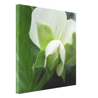 Pea Blossom Original Botanical art Wrapped Canvas Gallery Wrapped Canvas