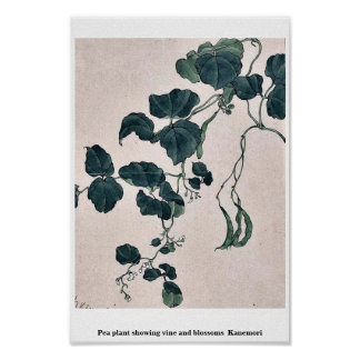 Pea plant showing vine and blossoms  Kanemori Print