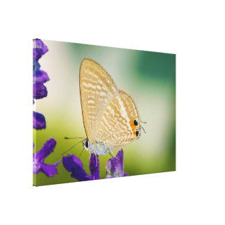 Peablue Lampides Boeticus Moth Butterfly Canvas Prints