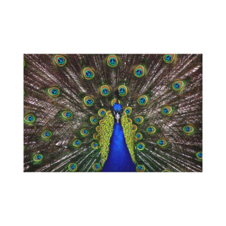 Peacecock Canvas Print