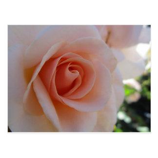 Peach color rose postcard