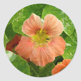 Peach Colored Nasturtium Flower - Sticker Sheet