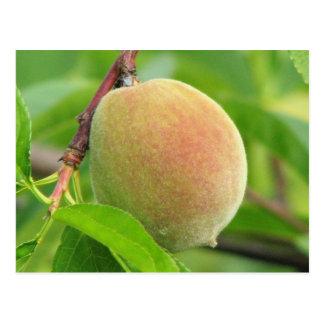 Peach Fuzz Postcard
