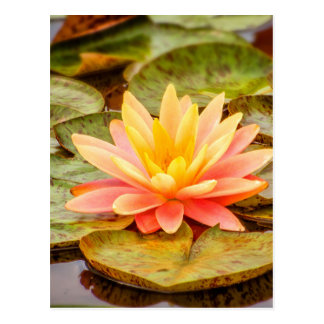 Peach Lotus Flower Postcard