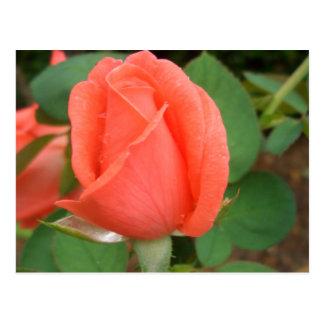 Peach Rose Bud in the Rain CricketDiane Post Card