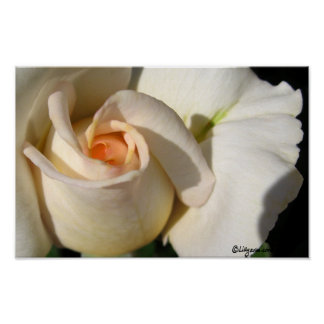 Peach White Rose Bud Poster Posters